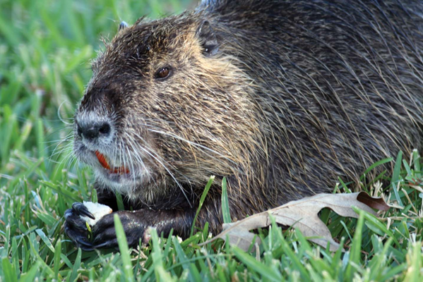 Close up photo of a nutria