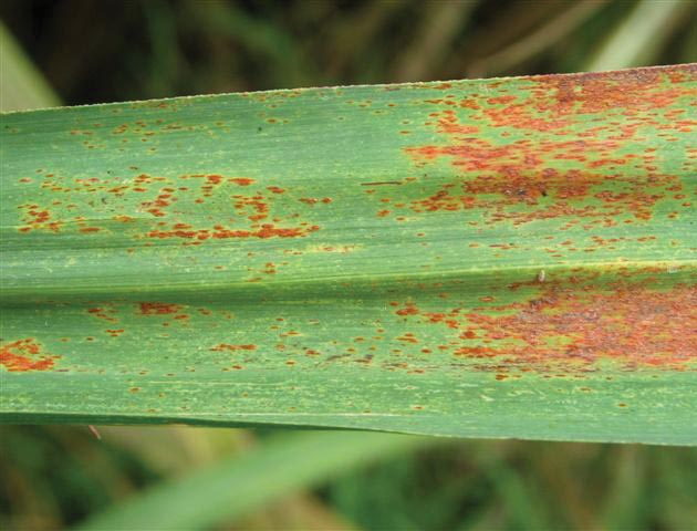 Leaf Rusts Old And New Threats To Sugarcane