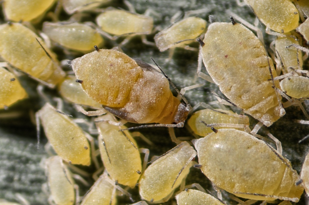 Researchers step up efforts to combat sugarcane aphids