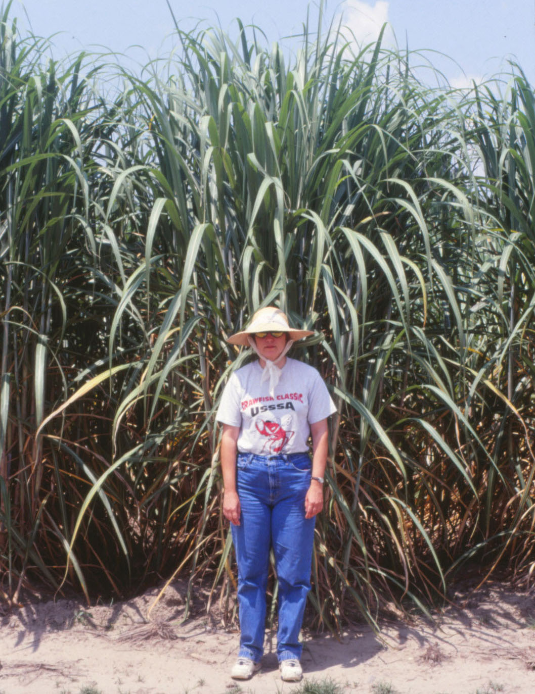 "Research Brief: Why does ""new ground"" produce higher sugarcane yields?"