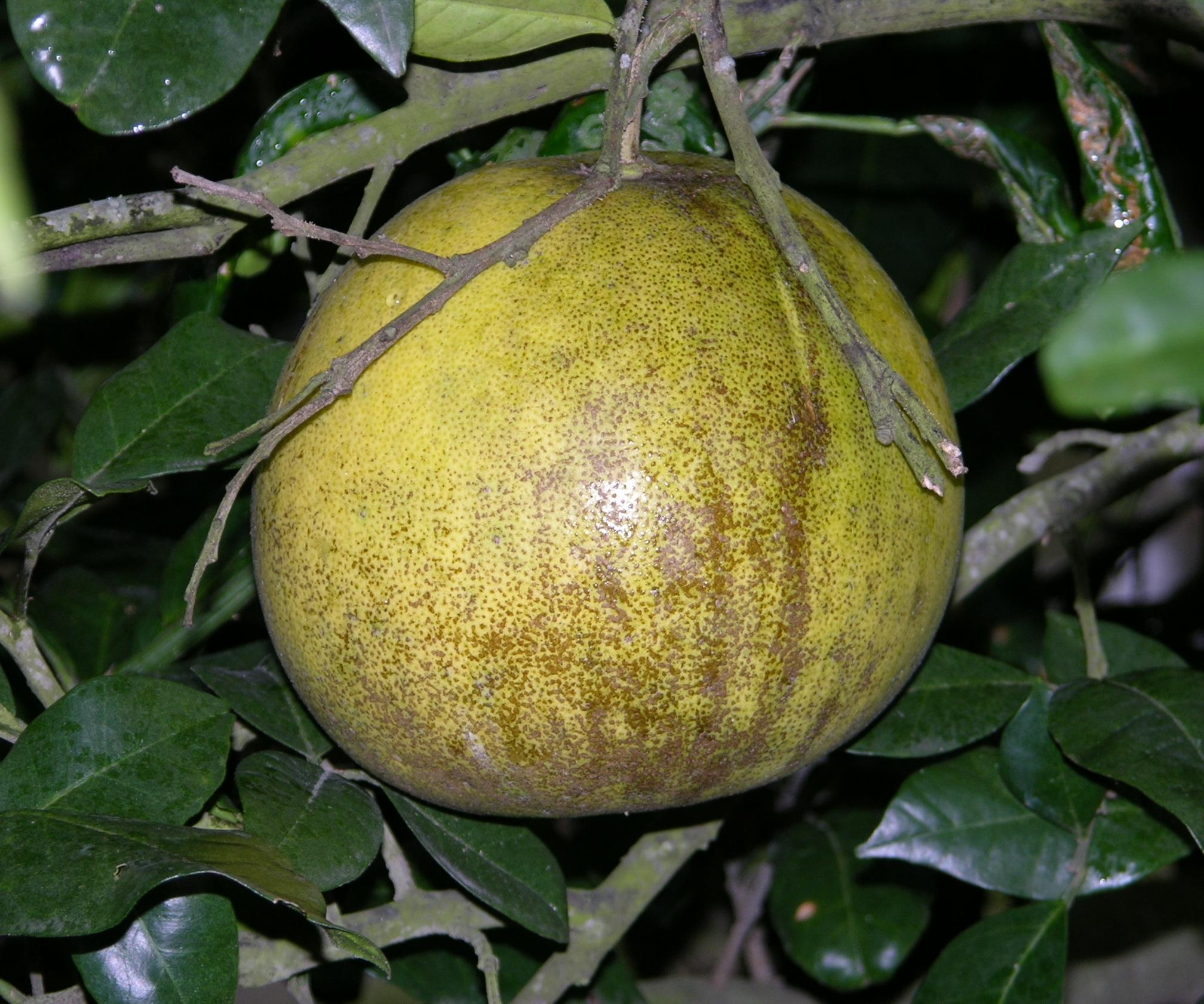Citrus Diseases