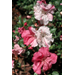 Conversation Piece azalea named Louisiana Super Plant