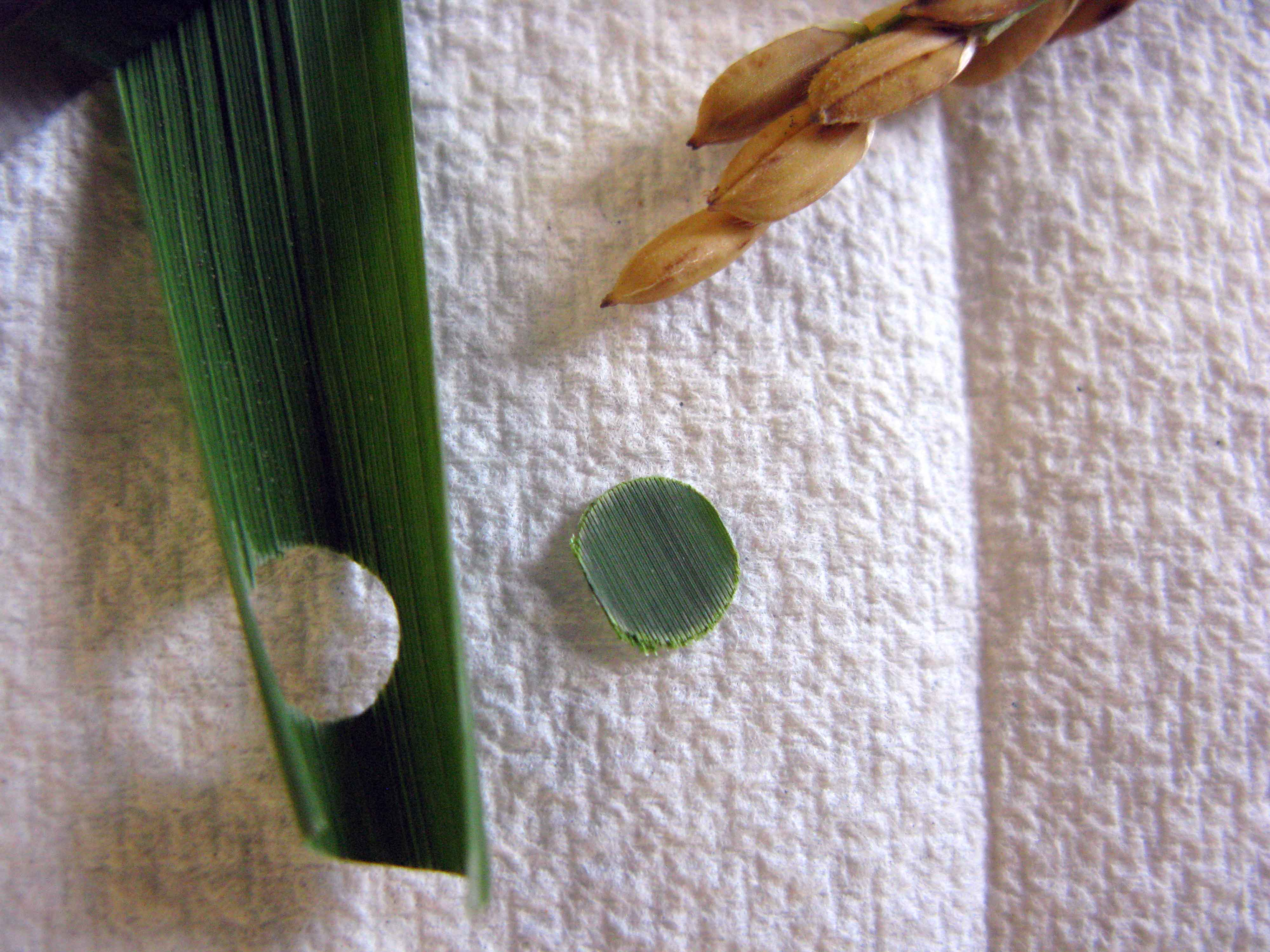 Molecular Marker: A Tool in Rice Variety Development