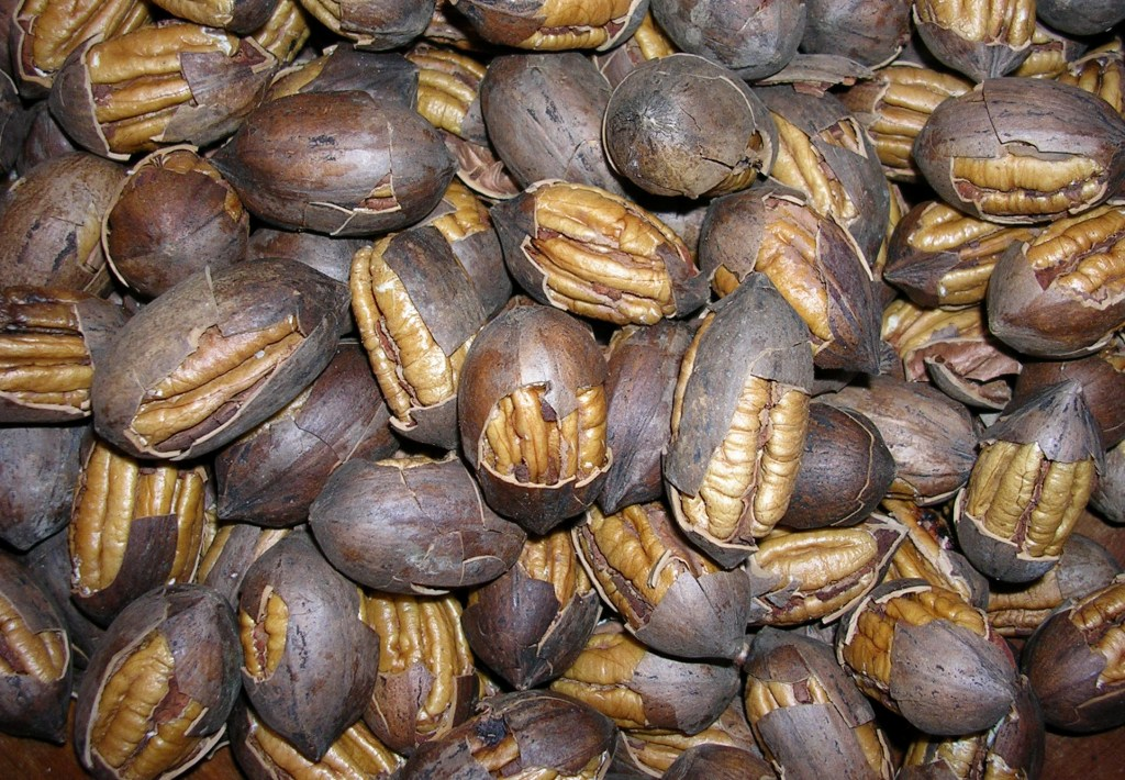 Proper Harvesting and Storage of Pecans Improve Quality