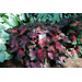 It's time to harvest caladium bulbs