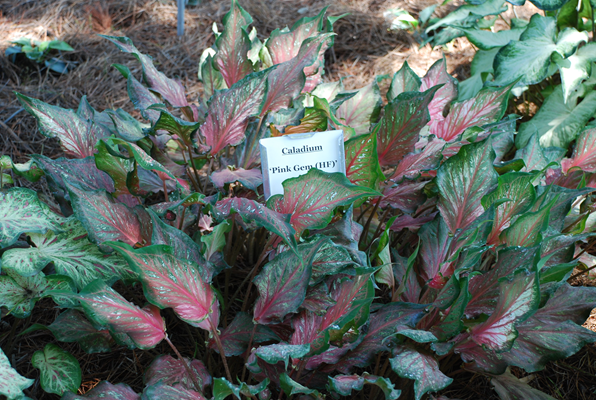 Strap leaf caladiums can tolerate more sun than the traditional heart shaped leaves.