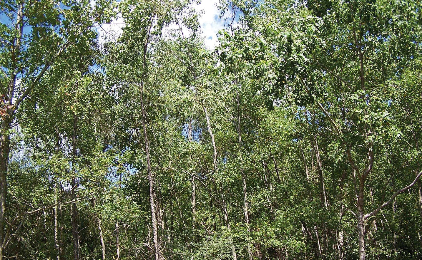 Chinese Tallow Trees a Potential Bioenergy Crop for Louisiana
