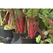 Swiss chard offers nutrition colorful ornamentation