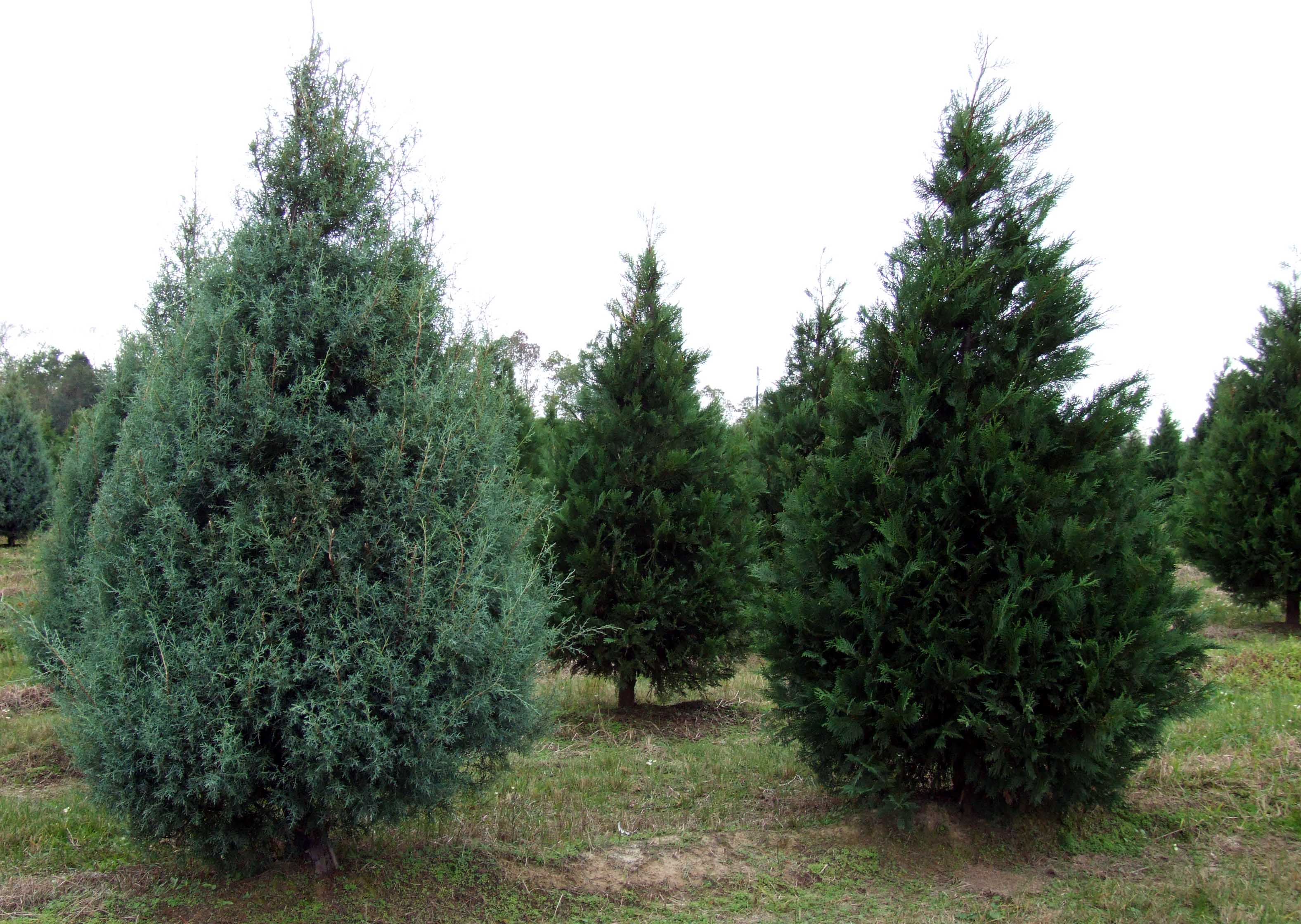 Expert Offers Tips On Choosing Caring For Holiday Tree
