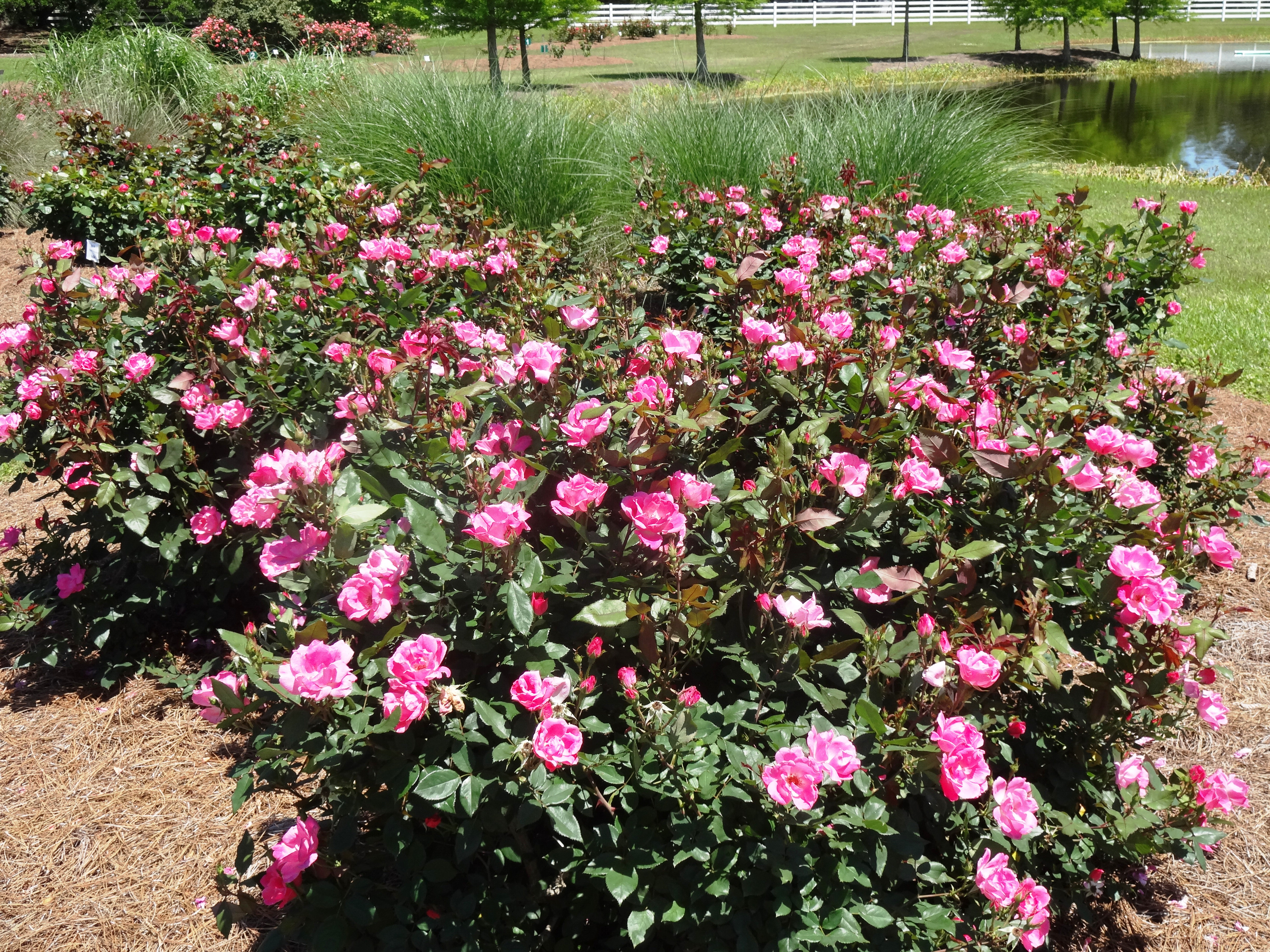 knock out roses for may 17.jpg thumbnail