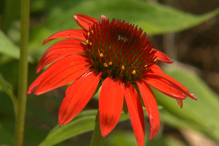 Cheyenne Spirit coneflowers offer diverse colors