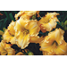 Try some new daylily varieties