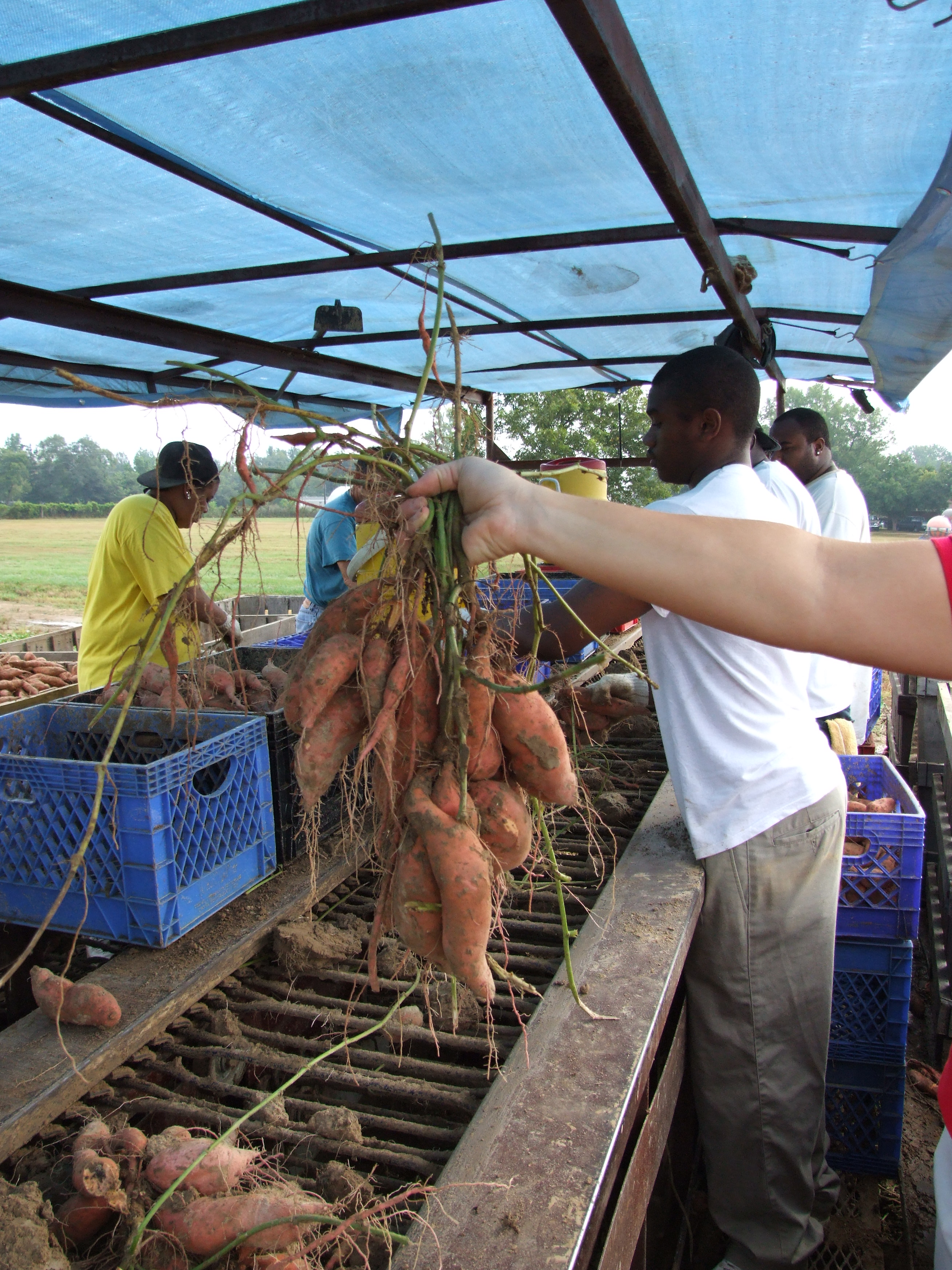 Sweet Potato Producers Pleased With 2007 Crop