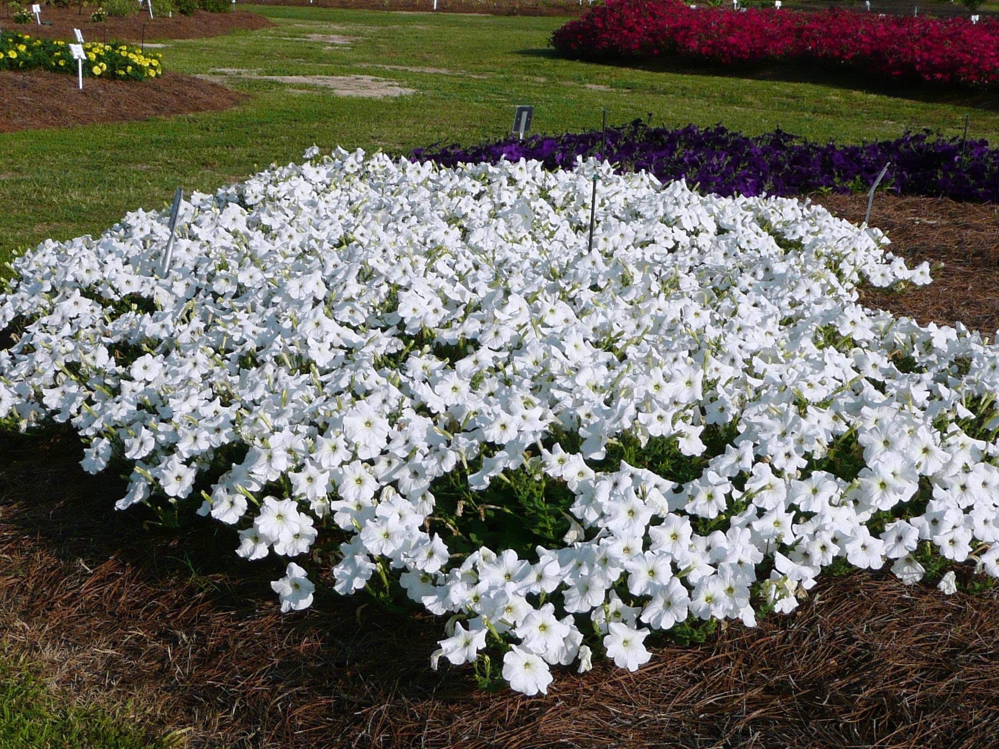Plant Petunias Now Through Mid October