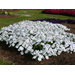 Plant petunias now through mid-October