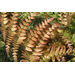 Autumn fern is evergreen with copper color