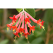 Showy coral honeysuckle attracts hummingbirds