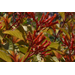 Super Plant Lime Sizzler firebush can take the heat