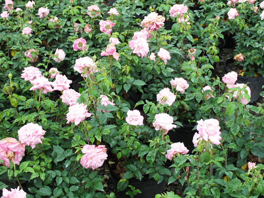 Prune Roses In Early February