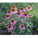 Fertilize Herbaceous Perennials Wisely, Lightly
