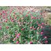 New gomphrena varieties offer more landscape options