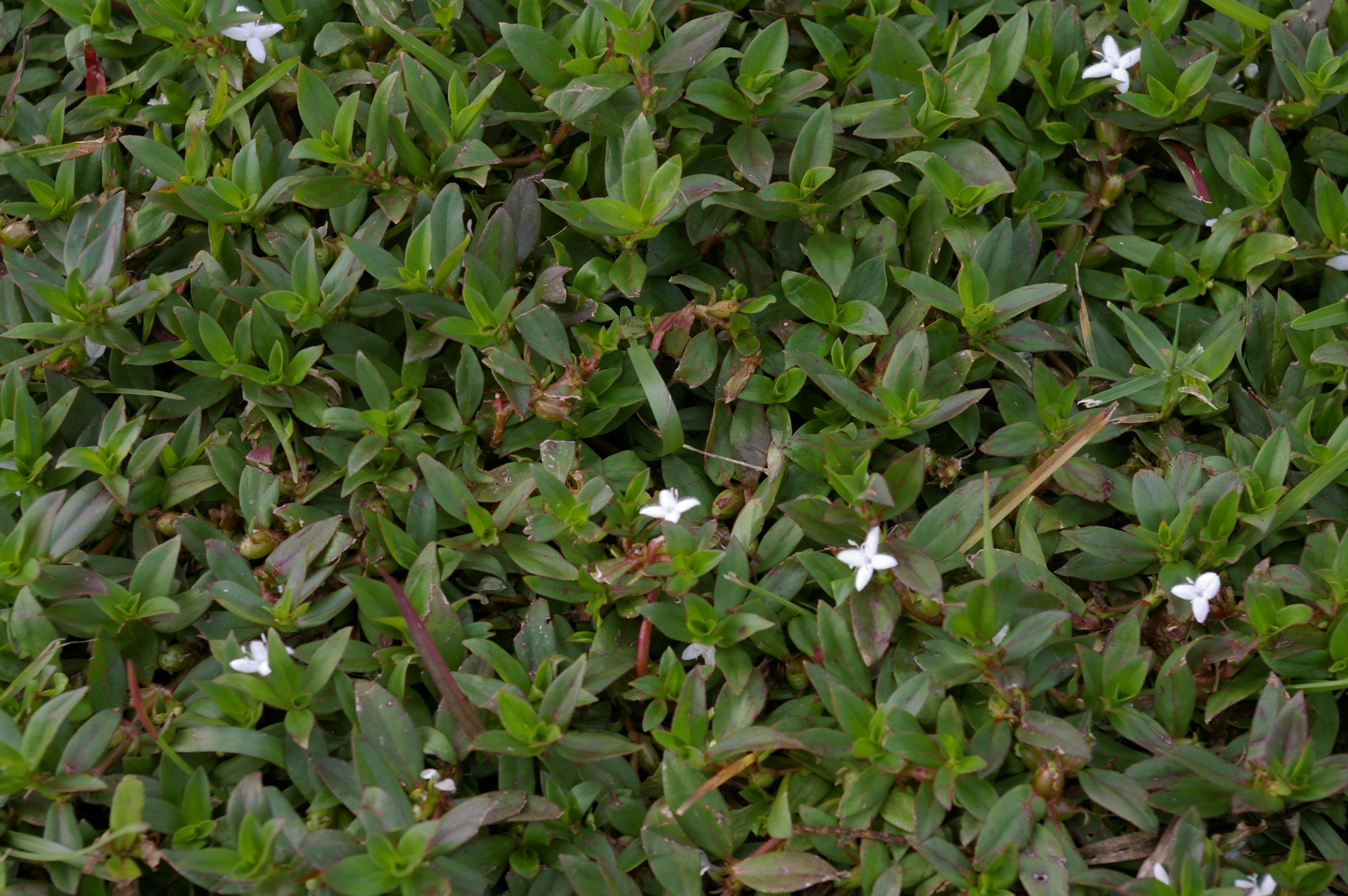 Virginia Buttonweed