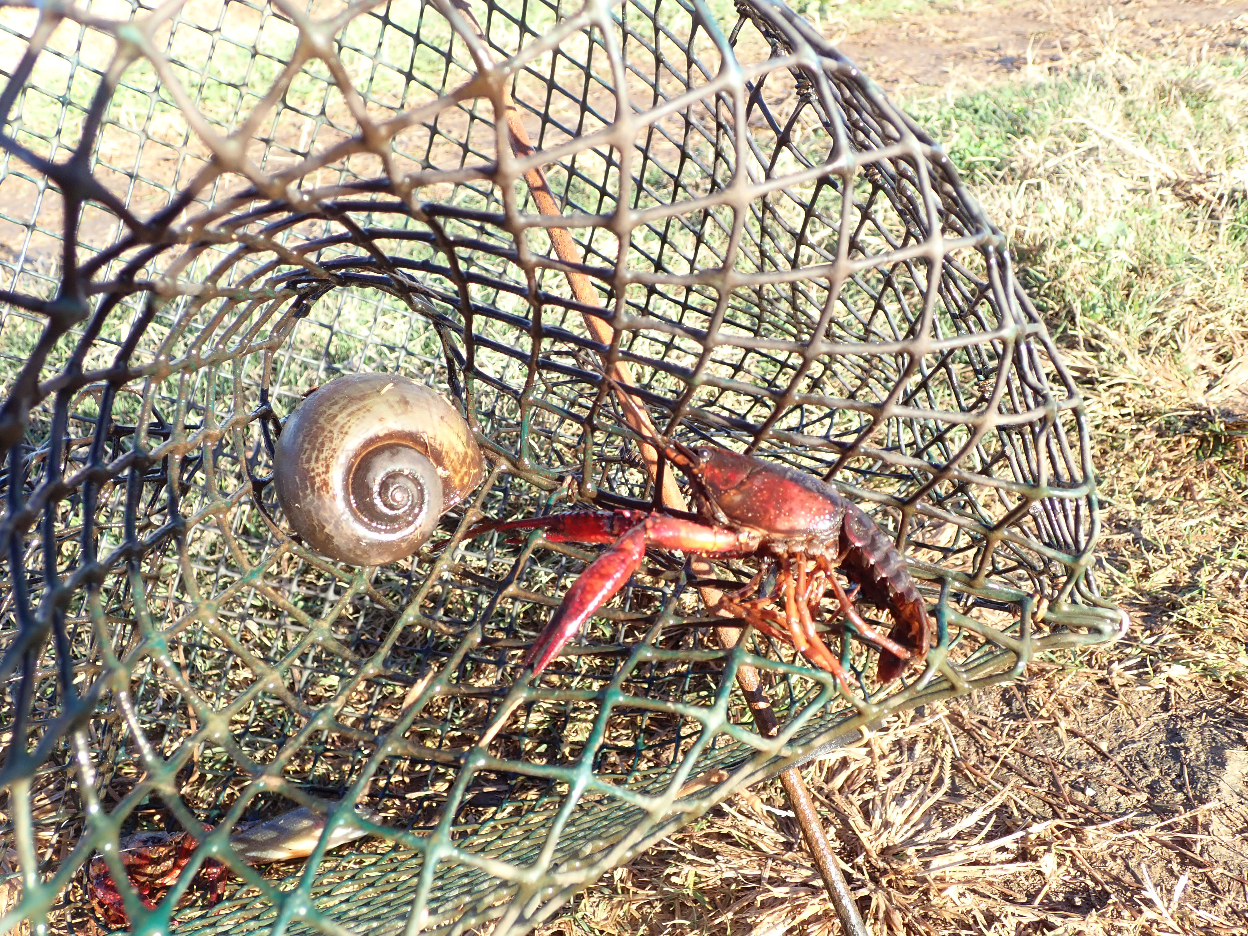 Snail in trap1.jpg thumbnail