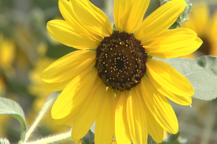 Ornamental sunflowers brighten landscapes & spirits