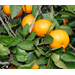 Cold snap good for Louisiana citrus