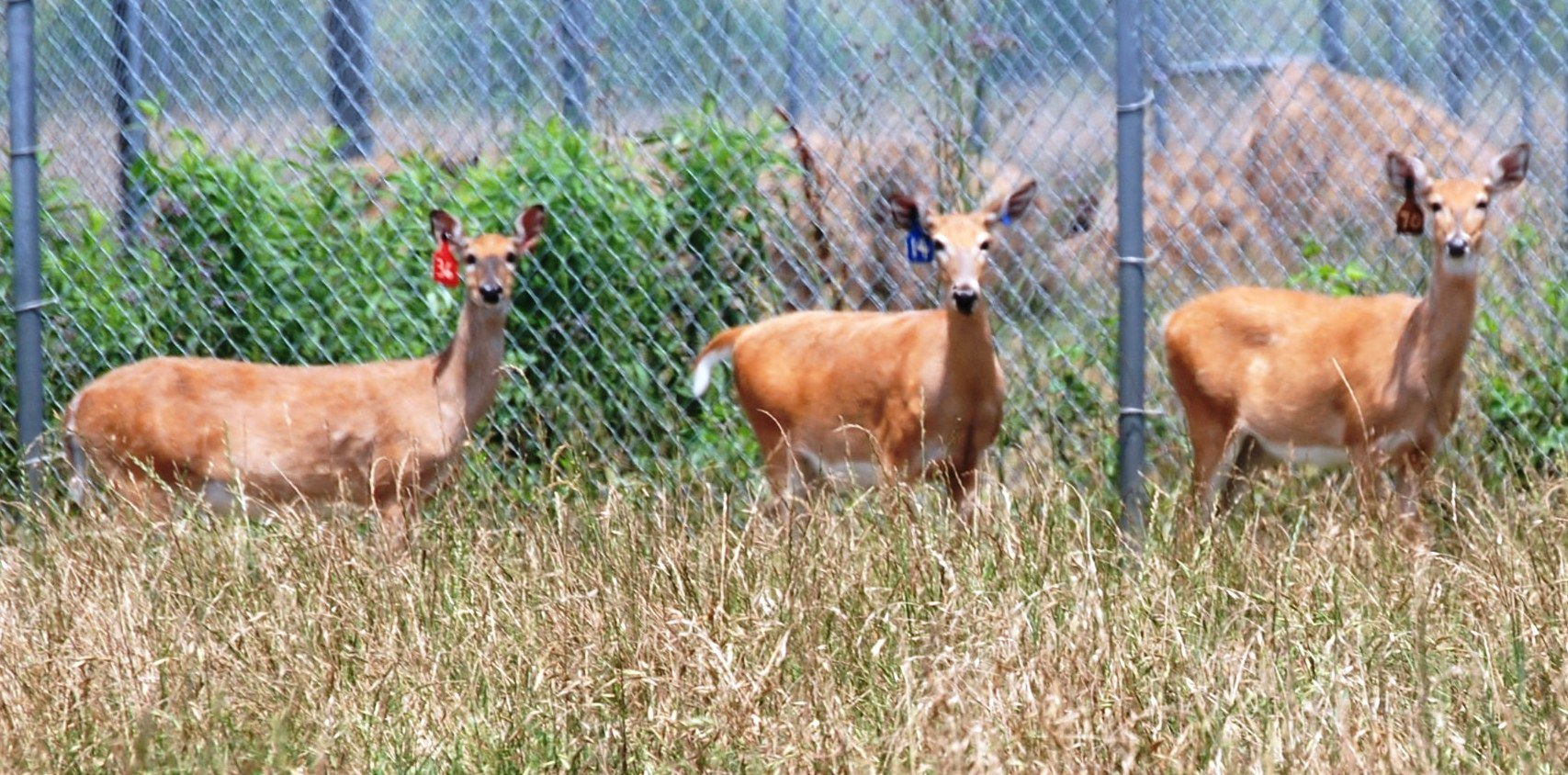 Cutting-edge research could improve deer populations, health