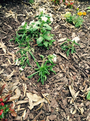 Picture of vincas that appear to have root rot