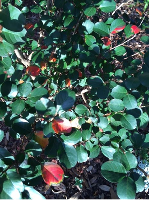 Picture of crape myrtle foliage exhibiting symptoms of Cercospora leaf spot