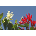 Easter cactus blooms for the holiday and beyond