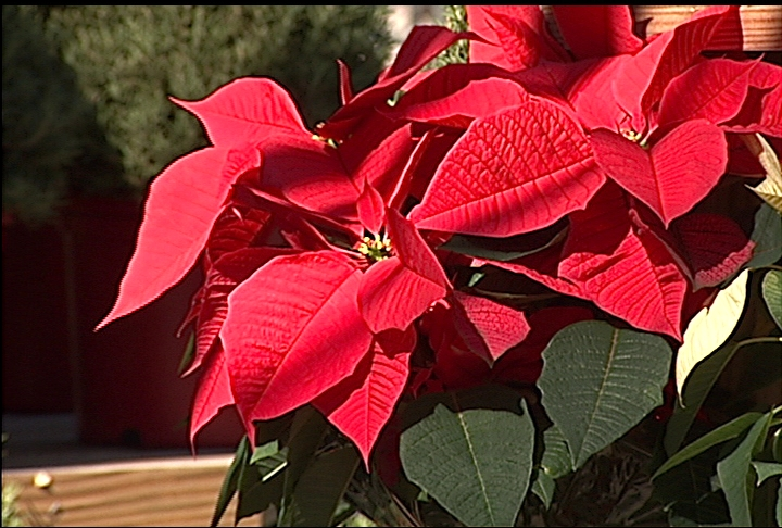 Good care keeps poinsettias attractive thoughout holiday season