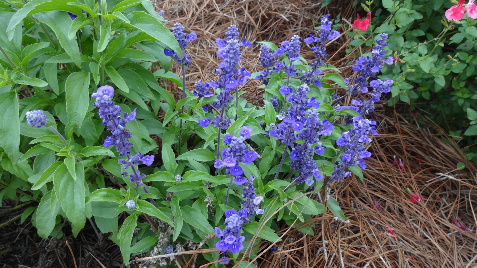 Salvia Evolution Blue.JPG thumbnail