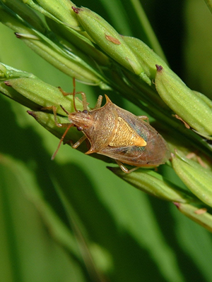 Rice stink bug adult