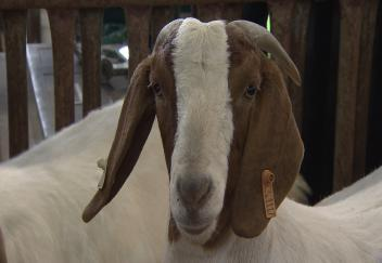 Louisiana youth gather for livestock show