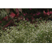 Babys breath euphorbia accents landscapes