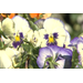 Pansies offer colorful beauty for many months