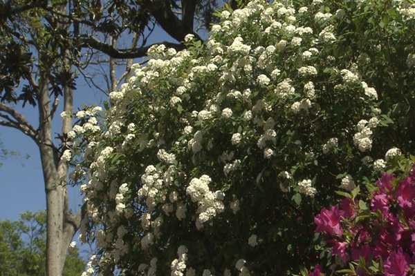 Bridal Wreath