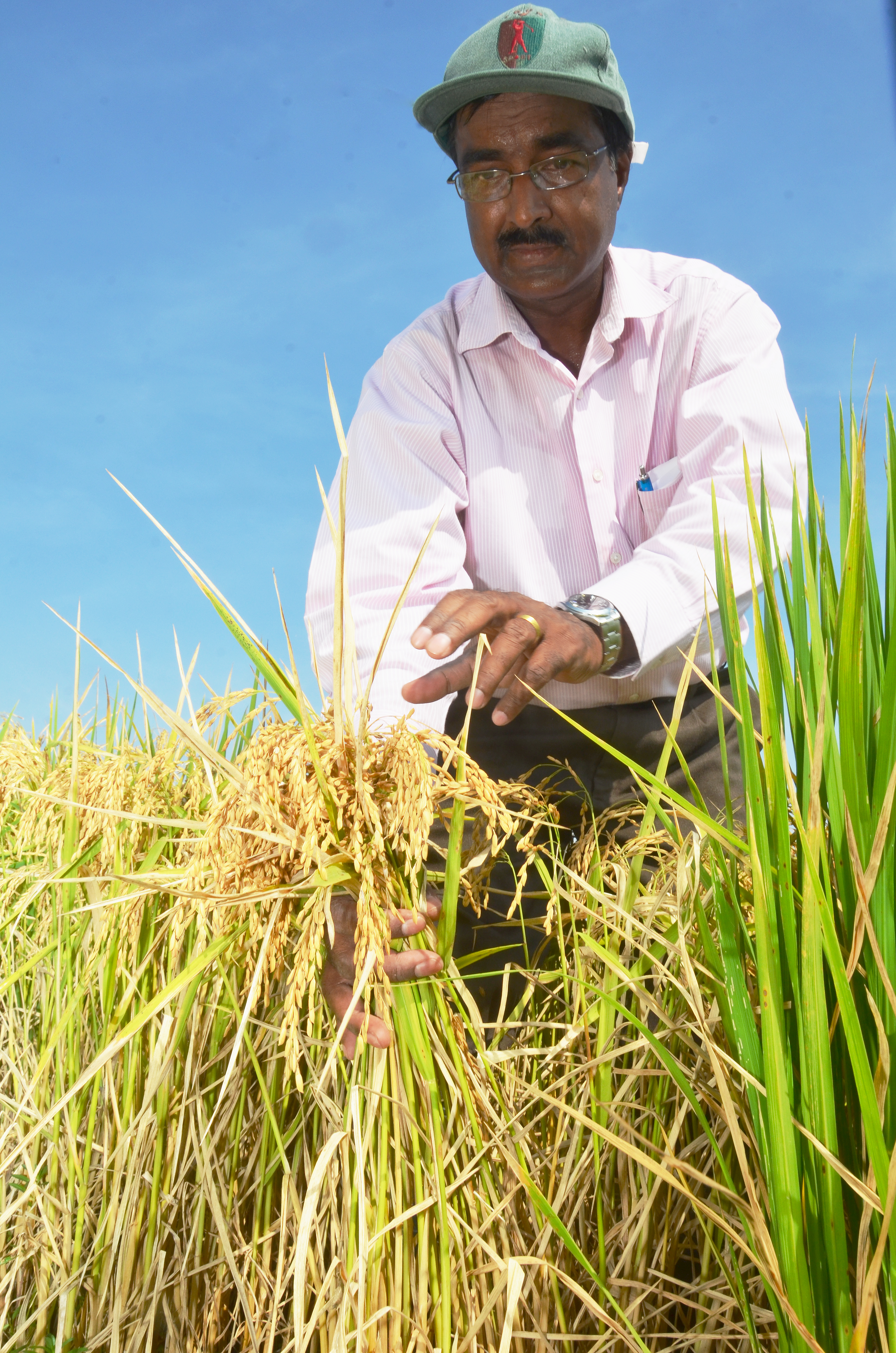 Scientist works on salt-tolerant rice