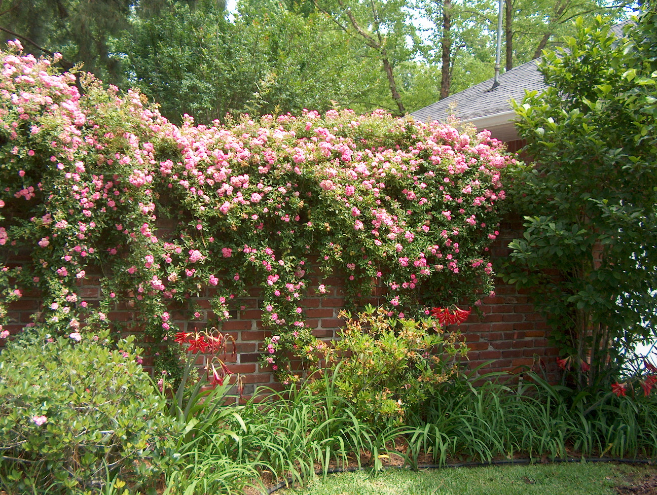 Plant roses in winter for beautiful blooms later