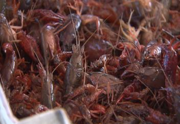 Crawfish harvest doing well despite August flood