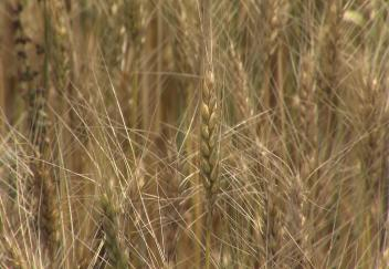 Louisiana wheat farmers anticipate brief harvest