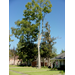 Protecting Shade Trees Around Your New Home