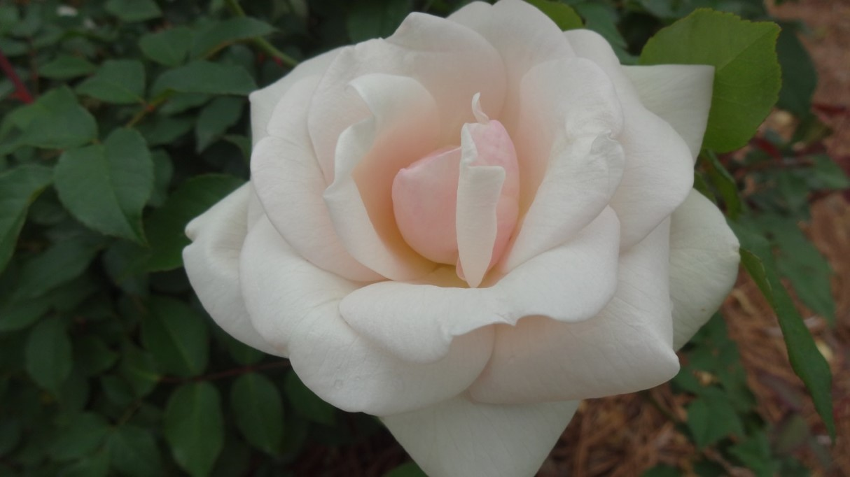 American Garden Rose Selections winners named