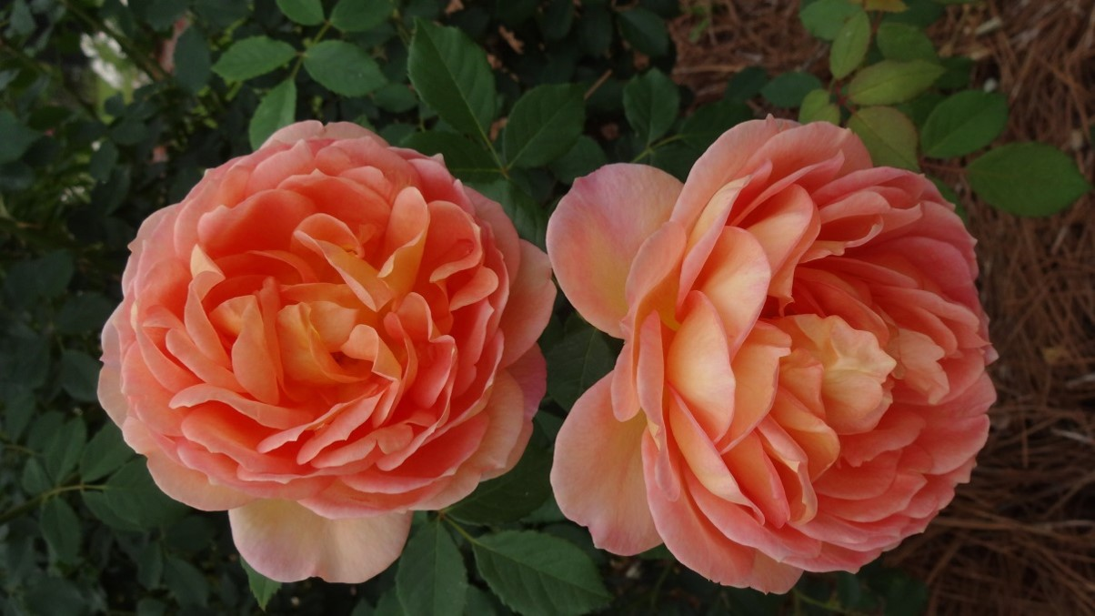 lady of shaloty ii agrsjpg thumbnail - Garden Rose
