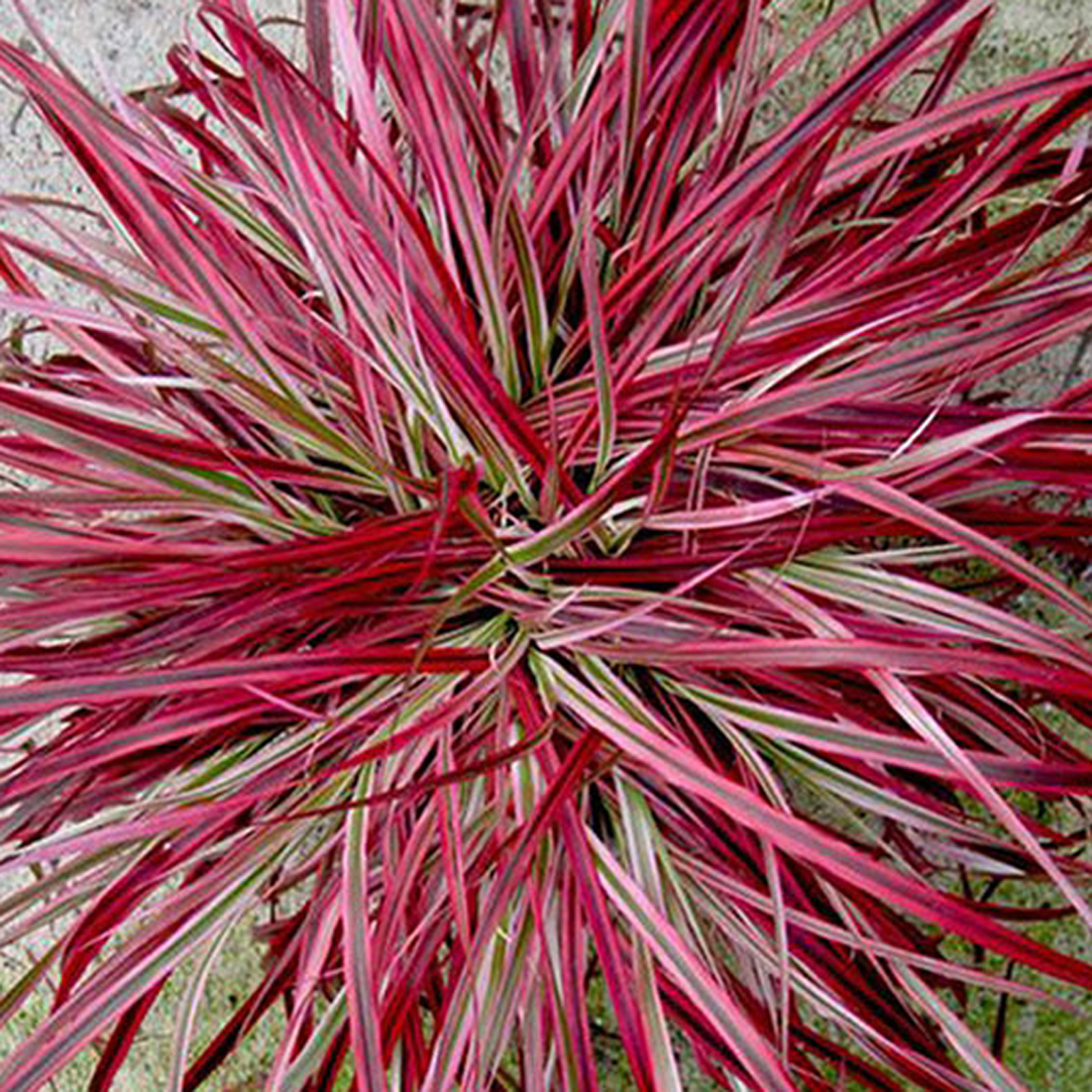 Fireworks fountain grass