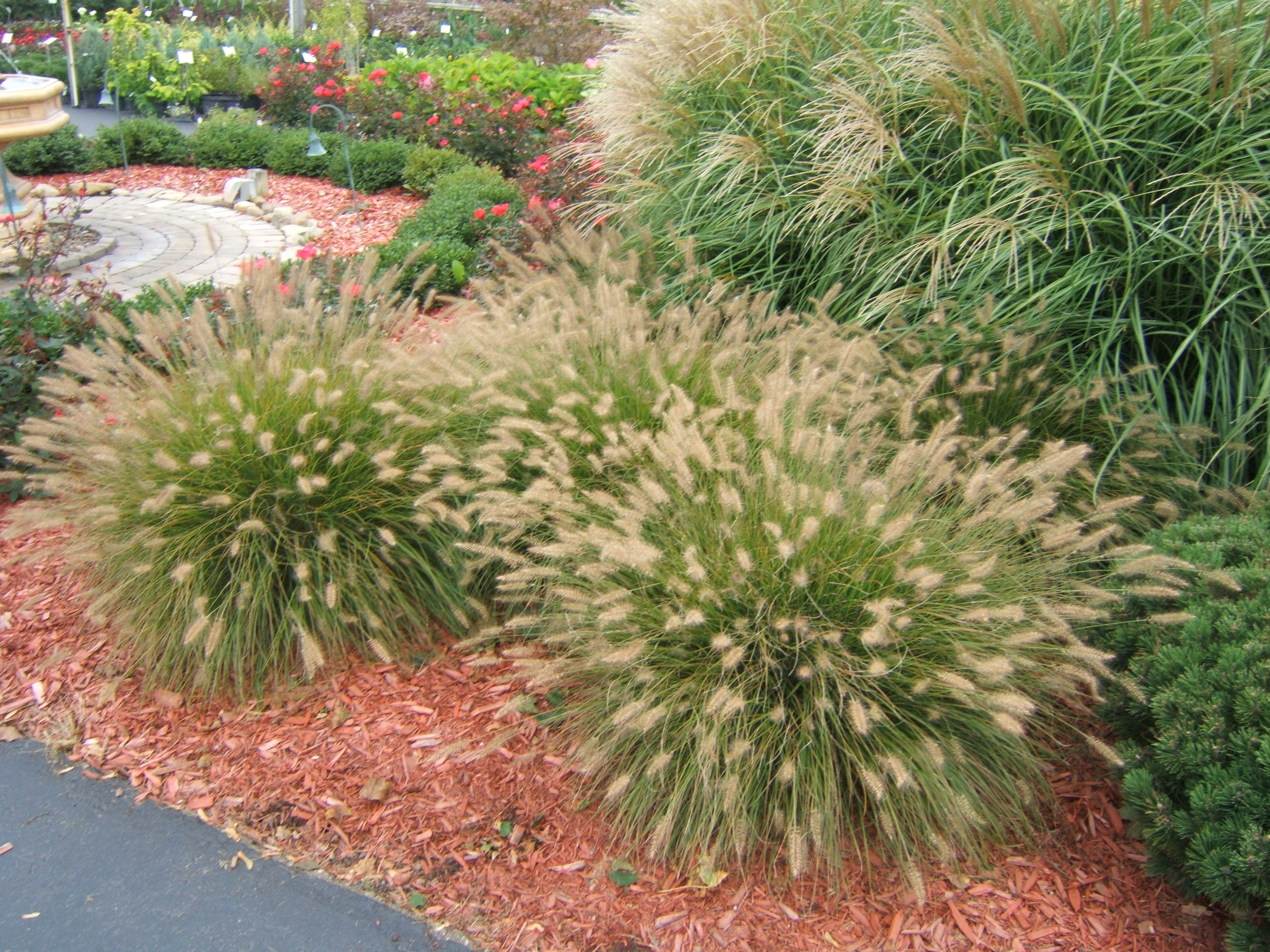 Ornamental Grasses Colorado Ornamental grasses add beauty with minimum effort pennisetum workwithnaturefo