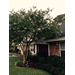Pruning Crape Myrtle Tree